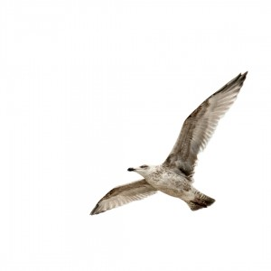 Seagull at the Baltic Sea
