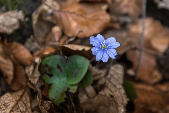Liverwort - a protected plant